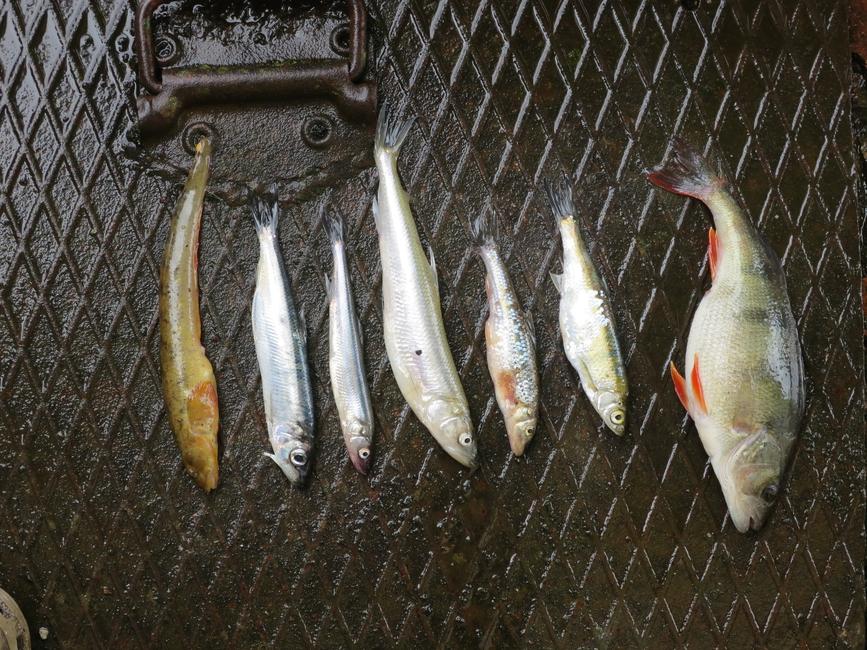 2015 Noor kalur laagriliste kalademääramine