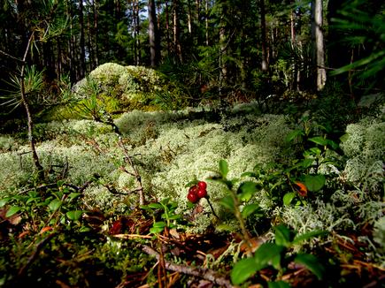 Käsmu mets, augustis