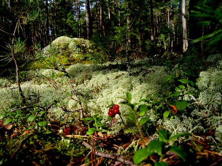 Orienteerumine Käsmu metsas